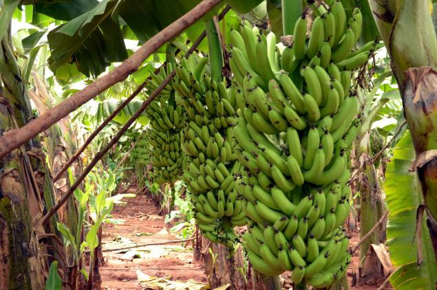 Bananas at a field near Gudalur in Theni district on Tuesday. /  Photo: G. Karthikeyan / The Hindu