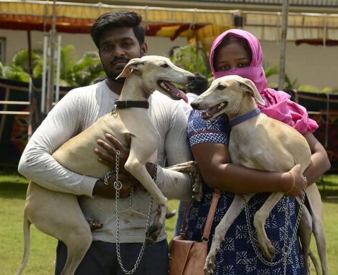 Sippiparai dog at the show held at Maduravoyal on Saturday. | Photo Credit: V. Ganesan