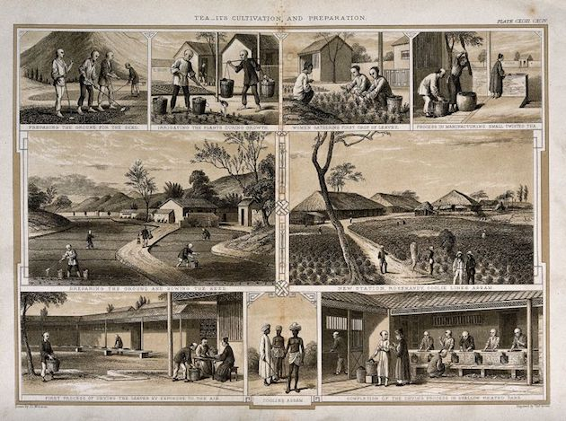 An 1850 depiction of the tea cultivation process in Assam. By Joseph Lionel Williams after Thomas Brown, via Wiki Commons