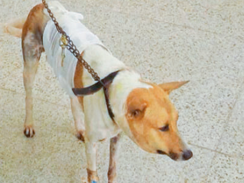 LUBDUB : Surgeons have successfully placed a heart in the dog's tummy